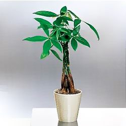 Money Tree: a mythical plant
